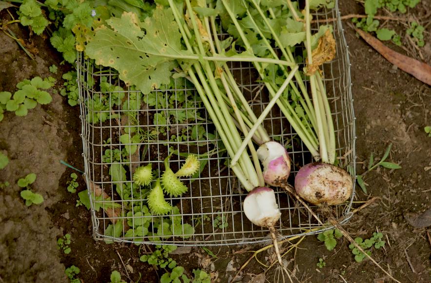 achogcha nabo cosecha conserva-de-verduras red de guardianes de semillas ecuador permacultura agroecologia organico
