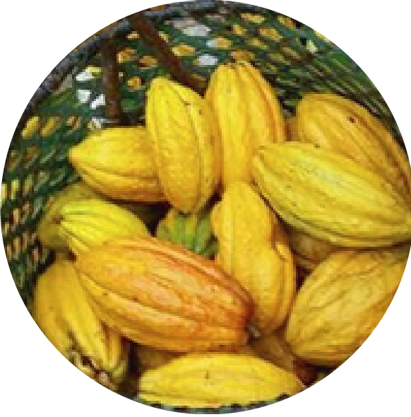 cacao red de guardianes de semillas ecuador