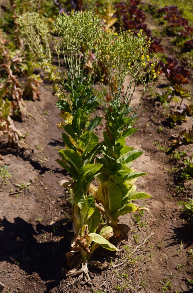 lechuga en flor para semilla red de guardianes de semillas ecuador