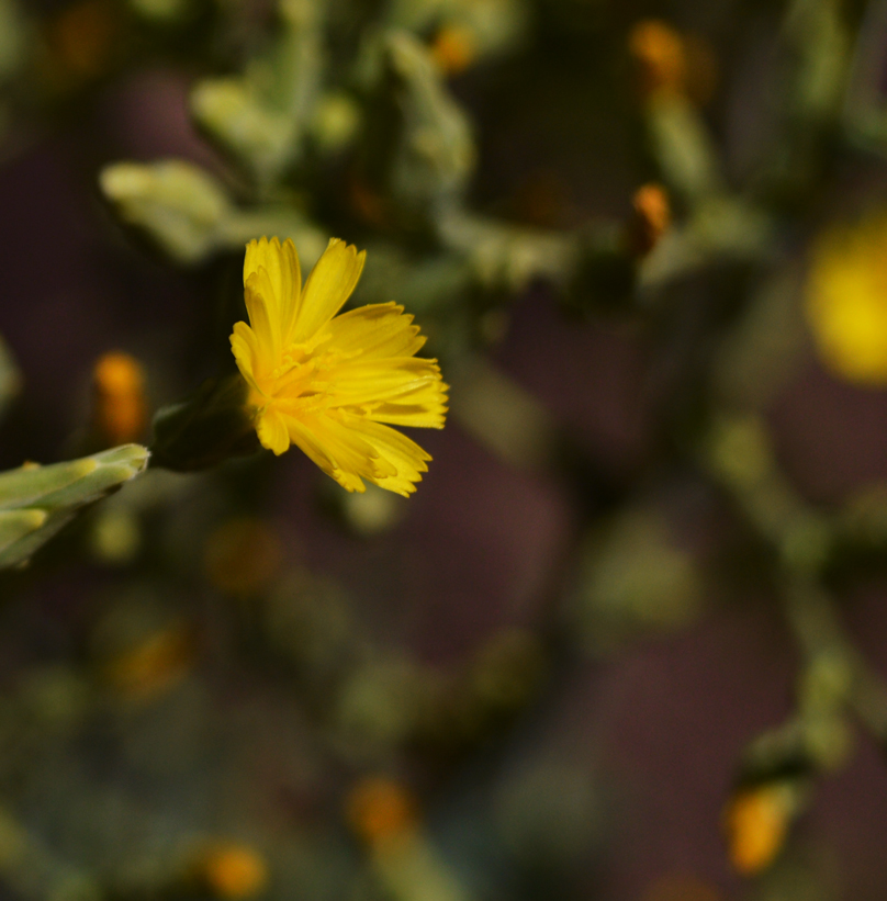 Flor de lechuga romana red de guardianes de semillas ecuador orgánico agroecológico